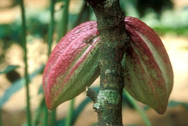 matale_spice garden_cacao pods