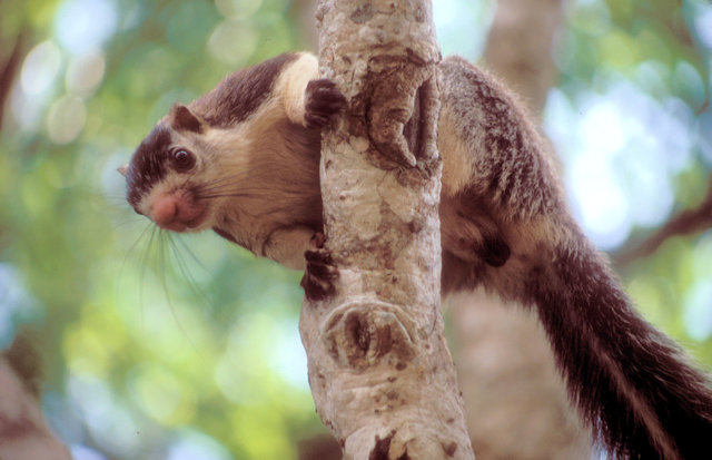 mihintale_giant squirrel