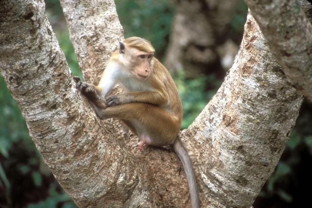 mihintale_toque macaque