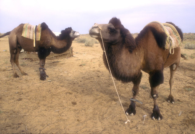 nurata_bactrian camels