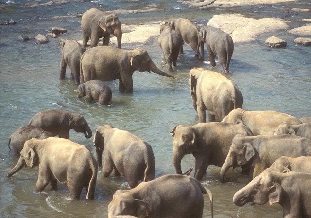 pinnewala_elephant orphanage
