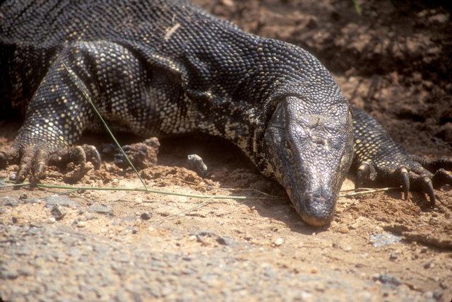 polonnaruwa_monitor lizard