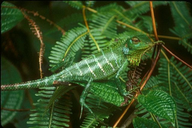 sinharaja_chameleon