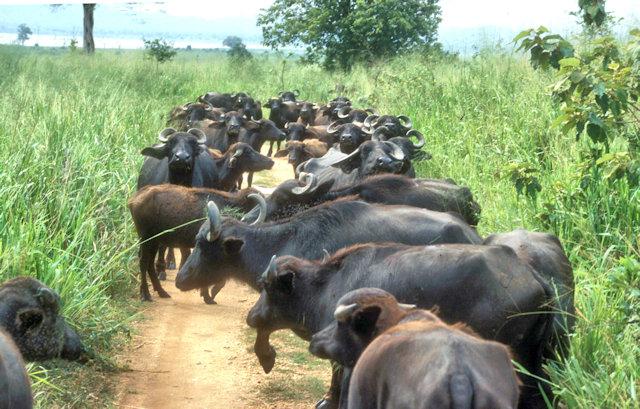 uda walawe_buffalo herd