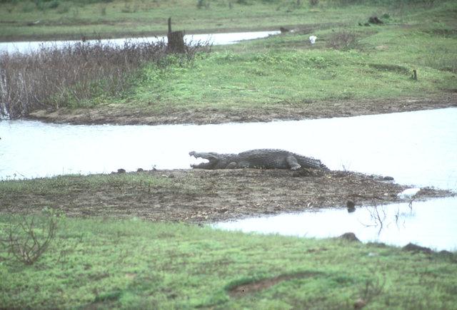 uda walawe_crocodile