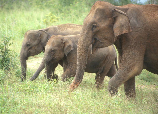 uda walawe_elephant cow and calves