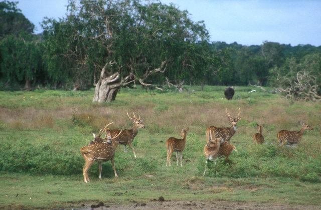 yala_axis deer and buffalo