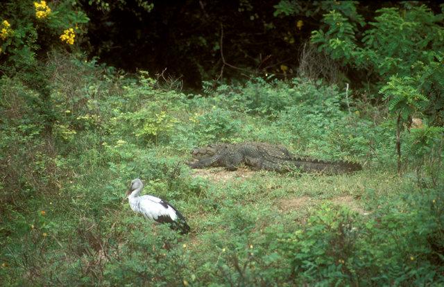 yala_open-billed stork and crocodile