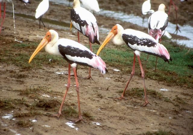 yala_painted storks
