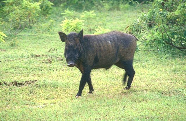 yala_wild boar