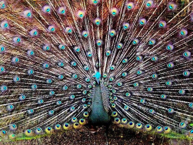pyay_peacock