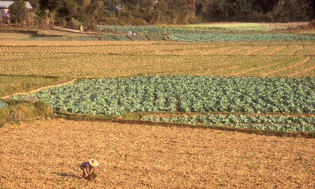 hsipaw_cultivation