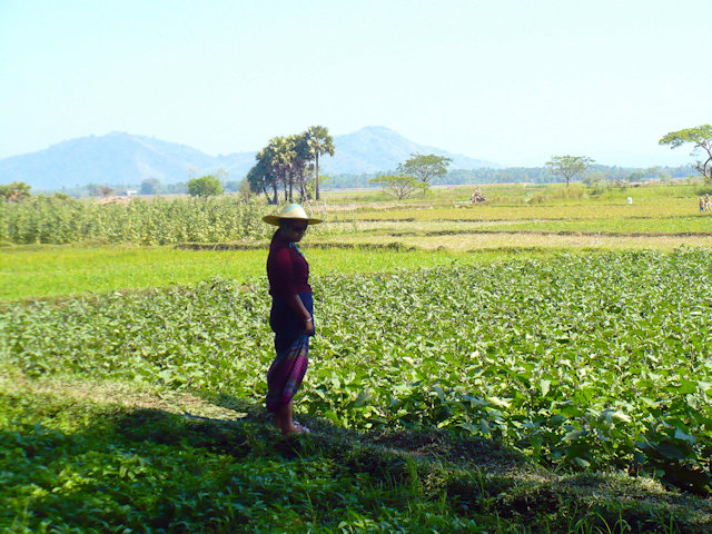thaton_cultivation